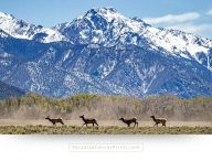 Running elk with mountain - Wildlife canvas prints photos