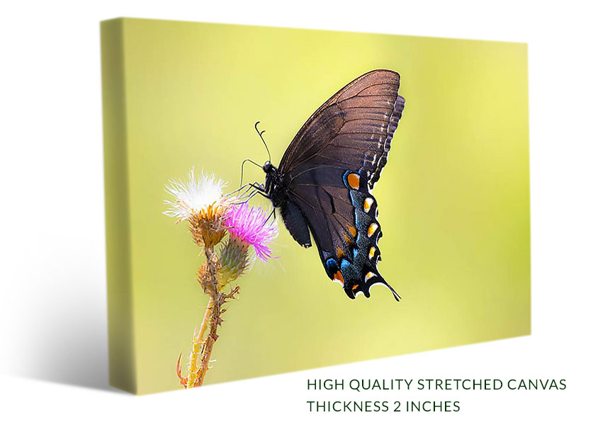Black Swallowtail Butterfly On Green Background - Wall Art, Canvas ...