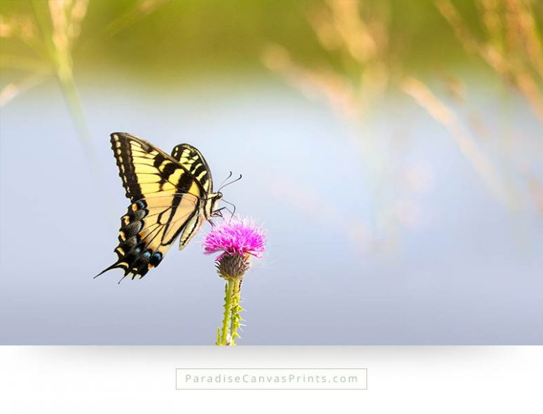 swallowtail butterfly canvas prints and photos