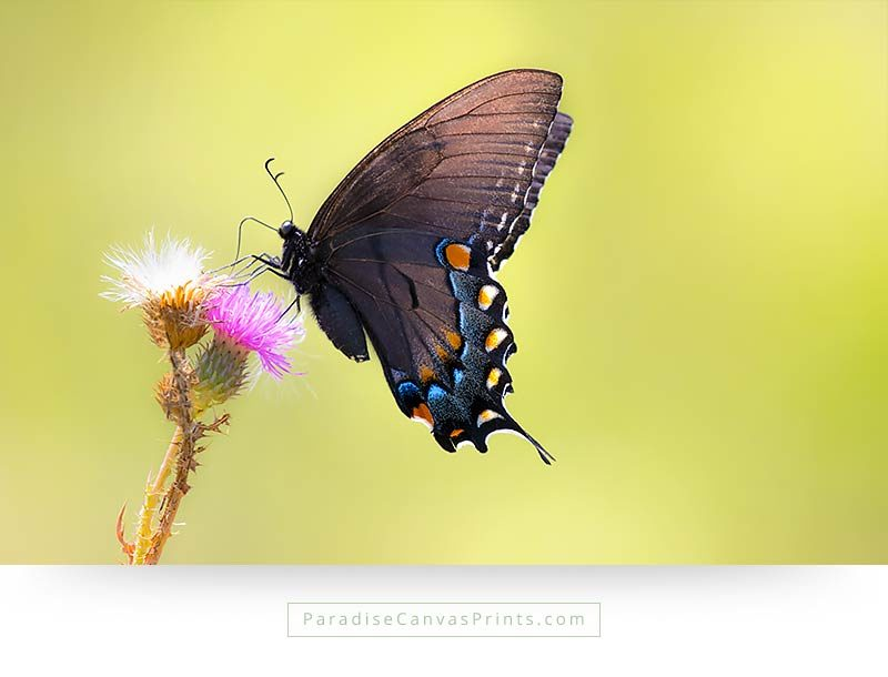 black tiger swallowtail thistle butterfly canvas prints