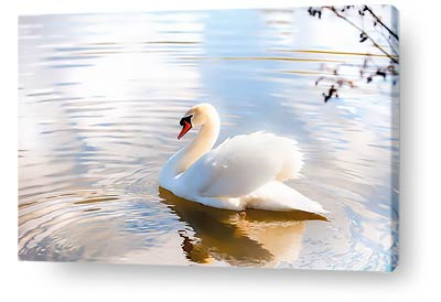 birds canvas prints swan