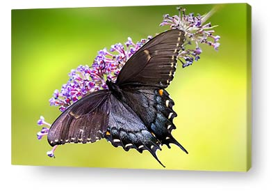 butterfly wall art print black