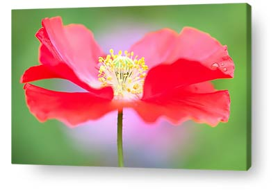 flower canvas prints red green