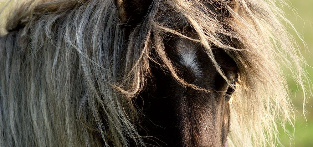 wild horses long manes