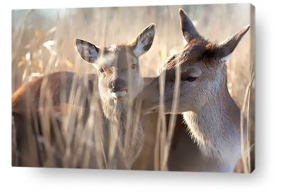 wildlife canvas prints doe foal
