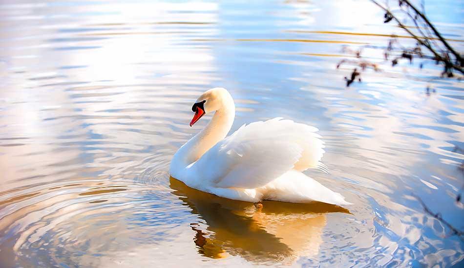 6-swan