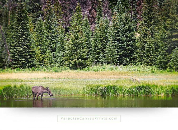 colorado wildlife canvas print moose lake mountains