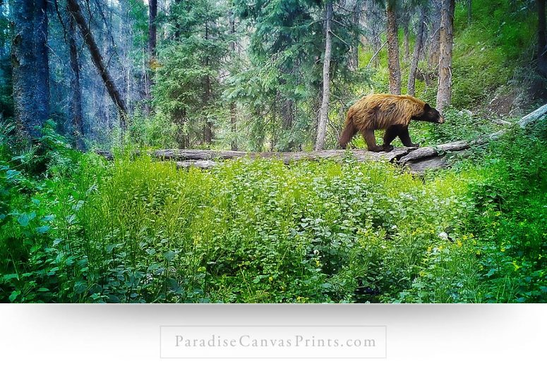Black Bear Wall Art: Beautiful Black Bear In Forest - Colorado Wildlife Canvas Print