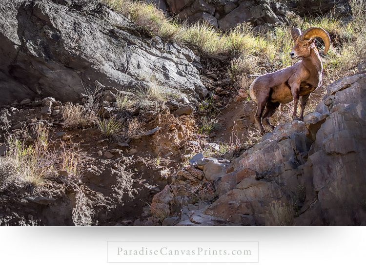bighorn sheep wall art