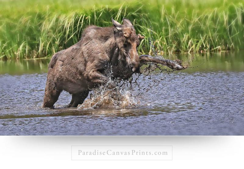 Moose Wall Art - Young bull playing in water