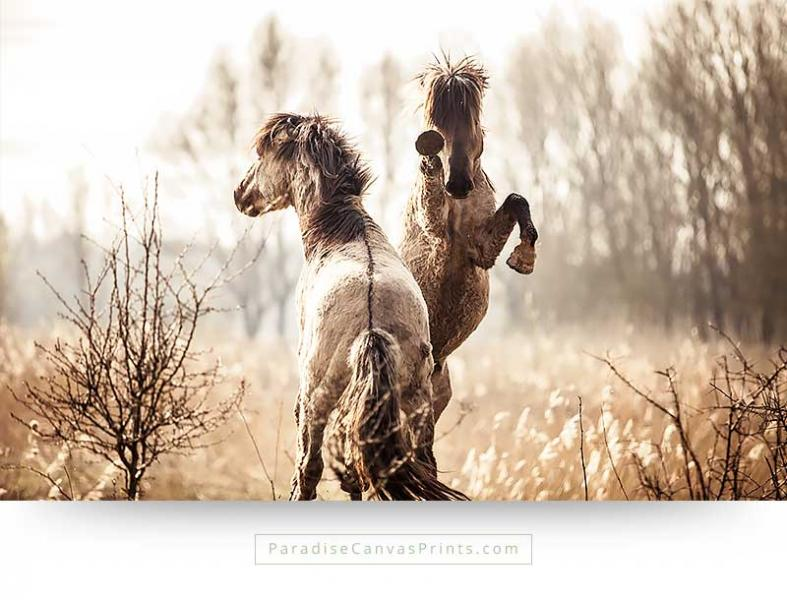 wildlife canvas print of fighting horses