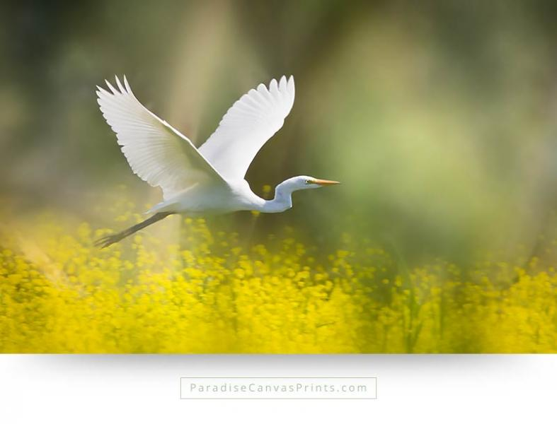 A beautiful birds canvas print with the picture of a white heron flying over yellow flowers