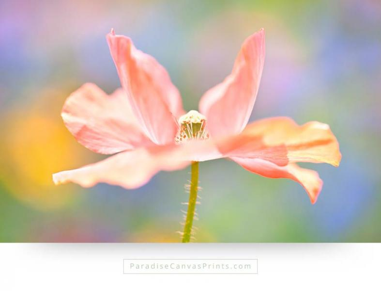 flower canvas prints wall art - pink poppy flower on colorful backdrop