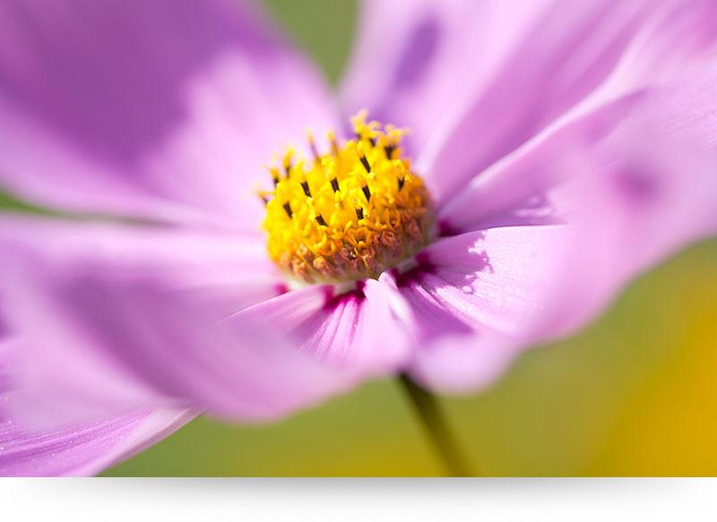 Close-Up of Cosmea Flower