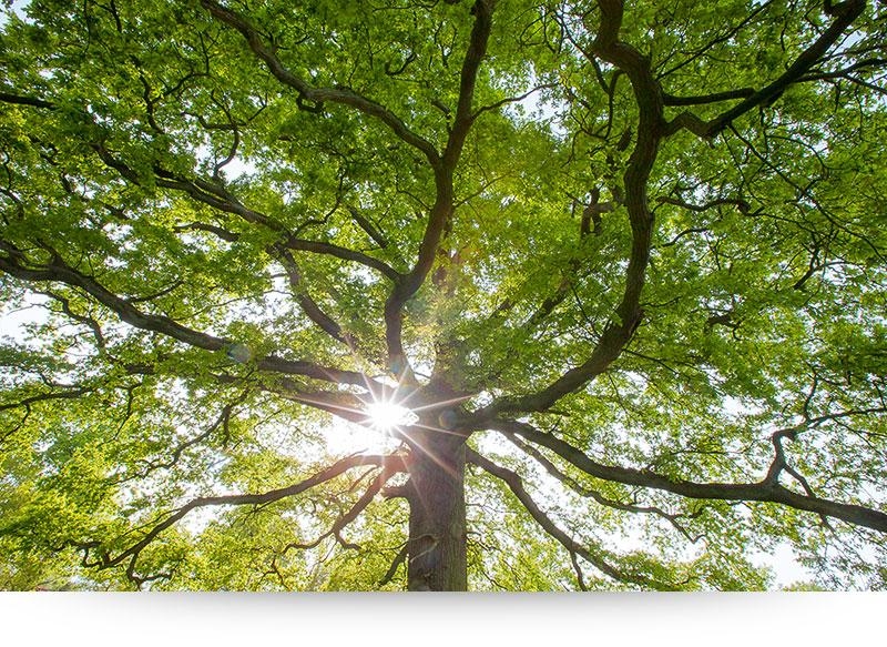 Nature Canvas Prints - Large Tree Lit By Sun Rays